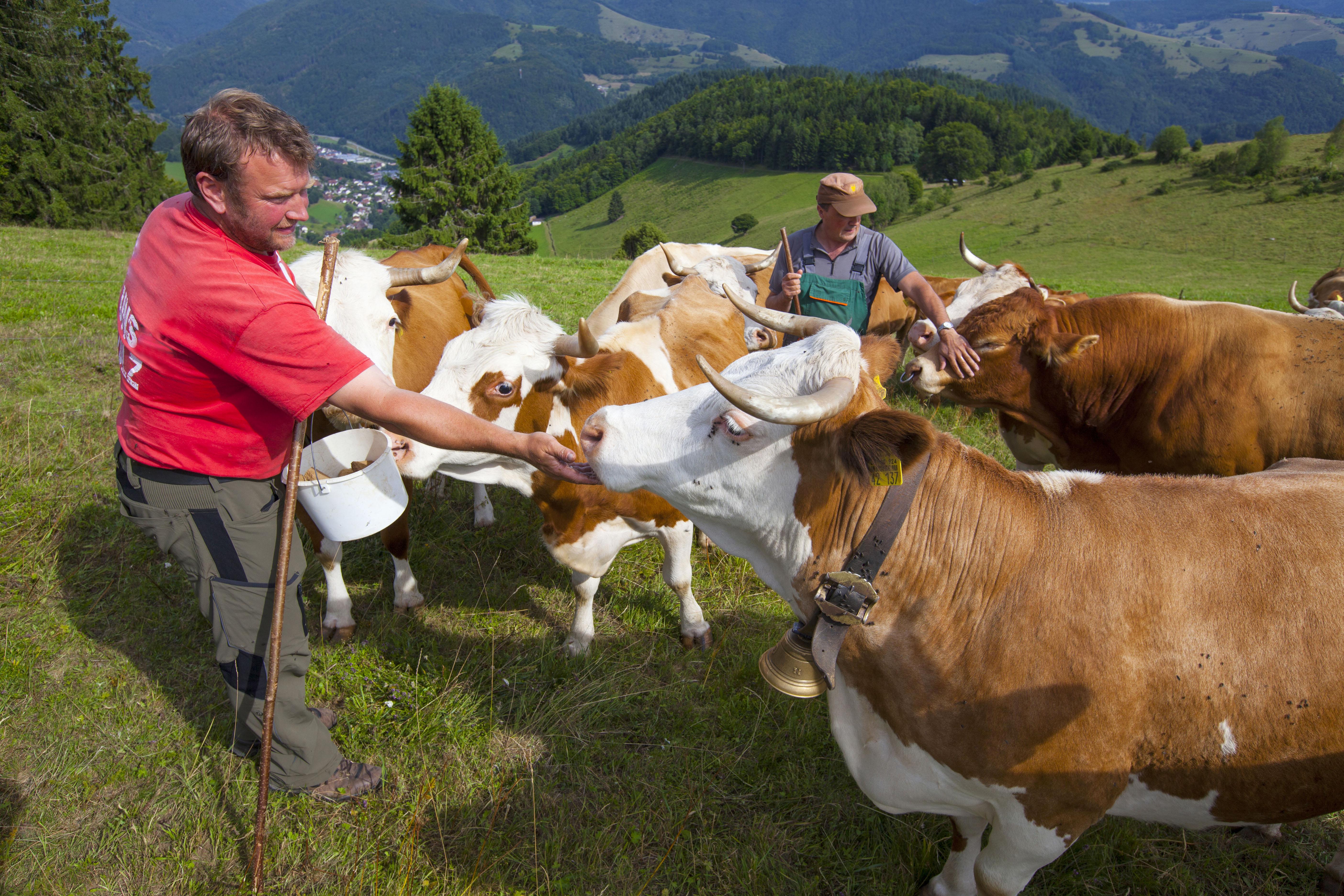Biosphärengebiet Schwarzwald -  Kühe