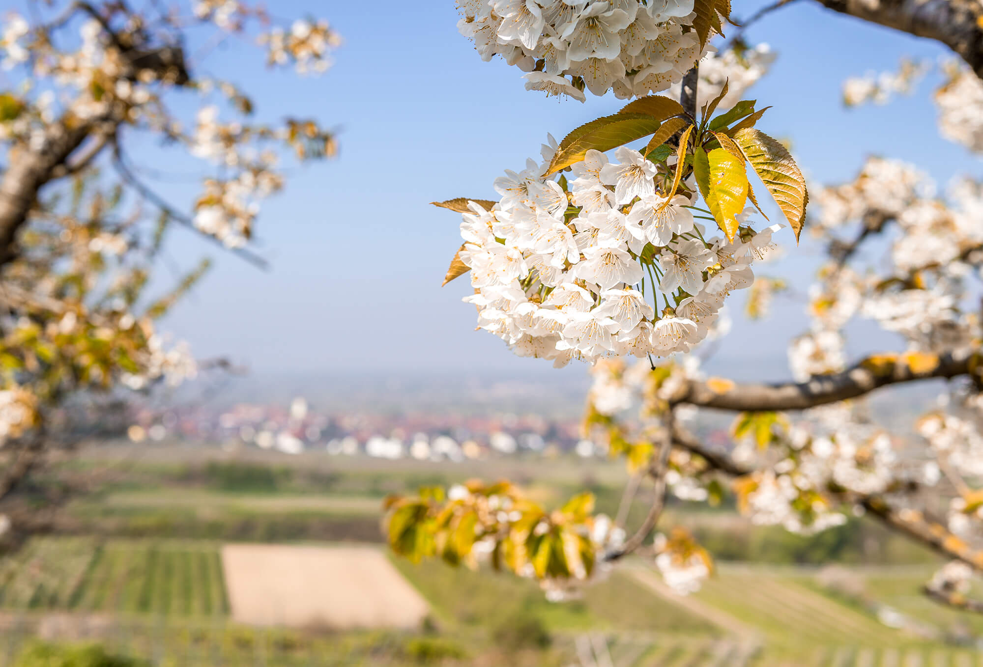 Kirschblüte Kaiserstuhl © Chris Keller / STG