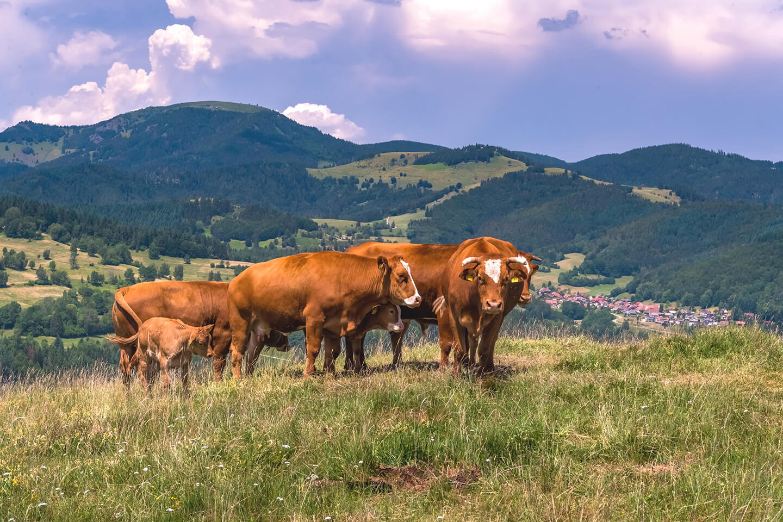 schwarzwälderische Kuhfamilie auf der Weide