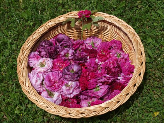 Horb Rosenernte Dettlinger Kräutergarten - auch im Wellness geschätzt