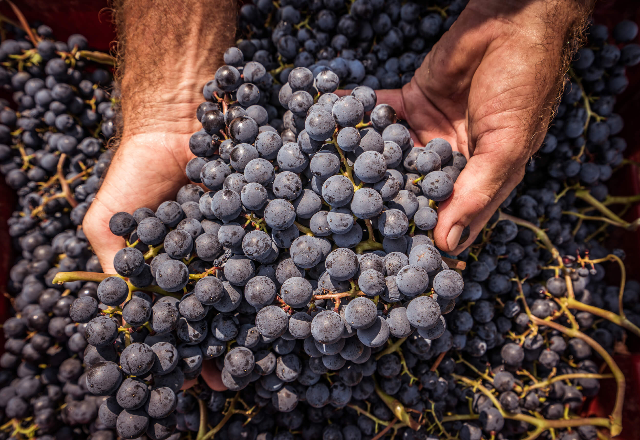 Weintrauben © Tourist-Info Kappelrodeck
