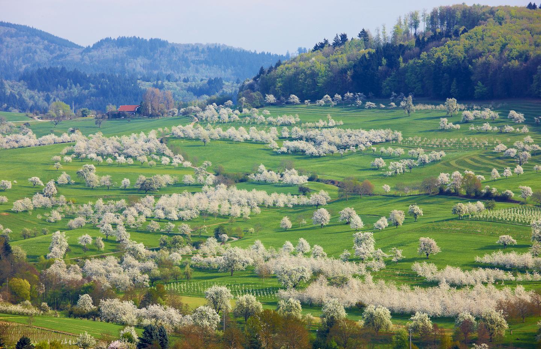 Kirschblüte im Eggener Tal © Erich Spiegelhalter/Schwarzwald Tourismus