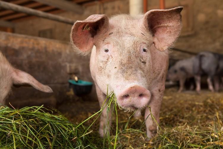 Junges Schwein auf dem Baldenwegerhof