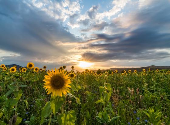 Sonnenblumen Dreisamtal © Klaus Hansen