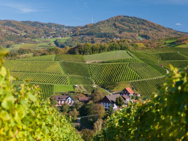 Sasbachwalden Weinreben