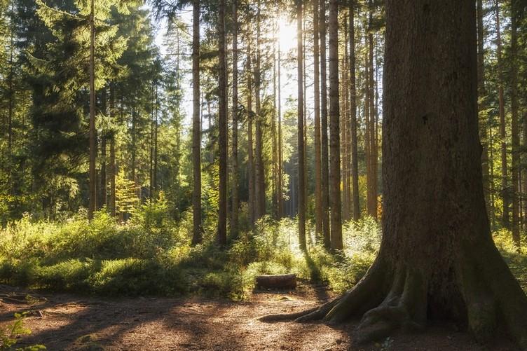 Der Wald rund um Freudenstadt beherbergt auch Deutschlands älteste Tanne