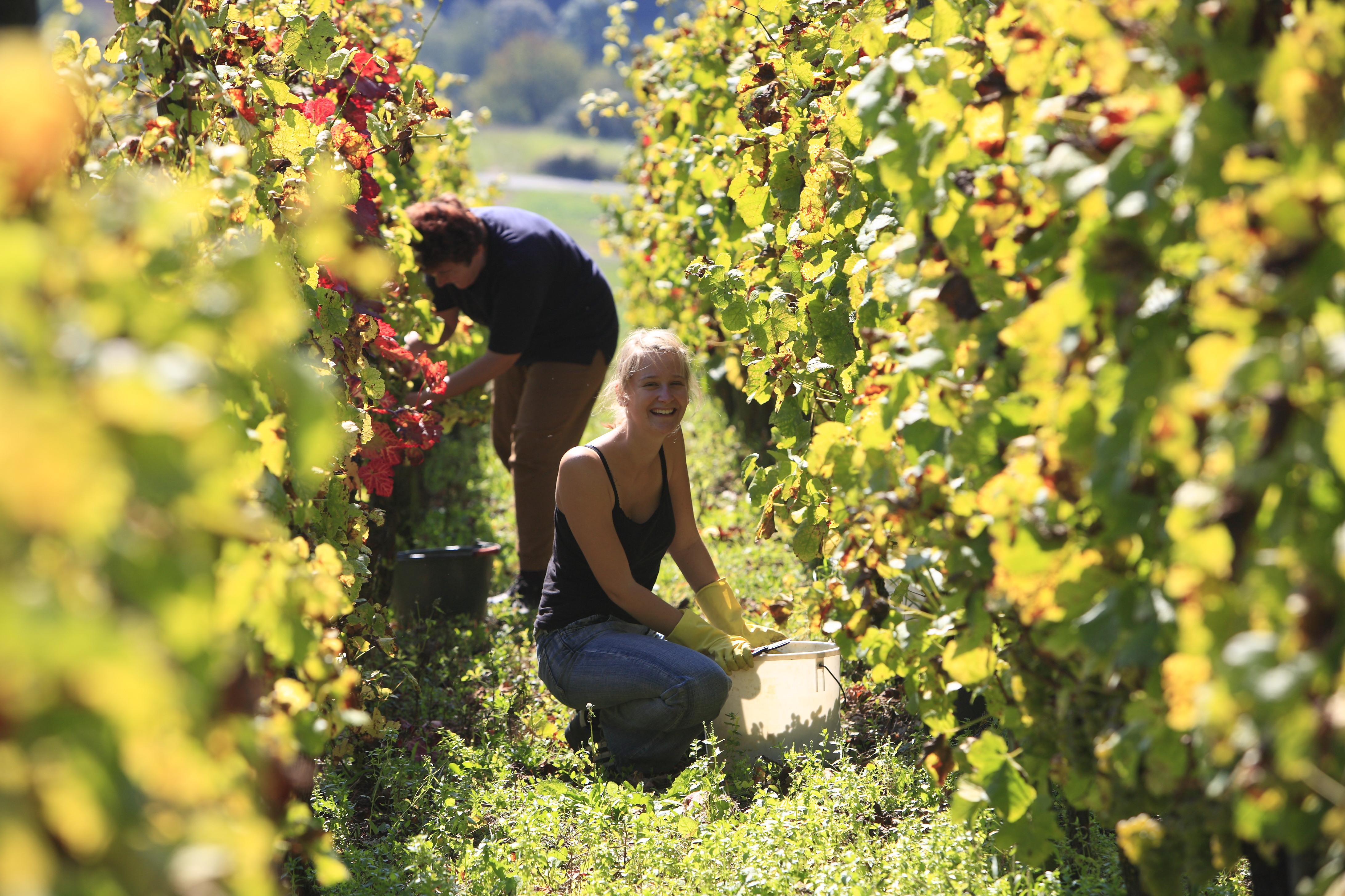 Weinlese im Weinland Taubertal